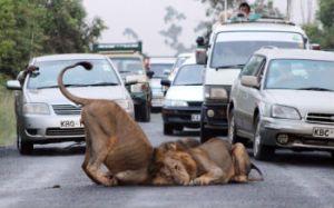 Lauvu rotaļas Nairobi nacionālajā parkā, Kenijā