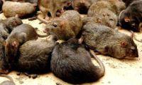 rats_iran